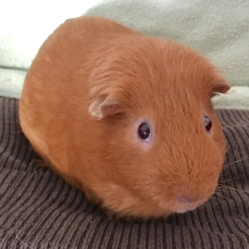 Chewbakka - Satin x Smooth Hair Guinea Pig