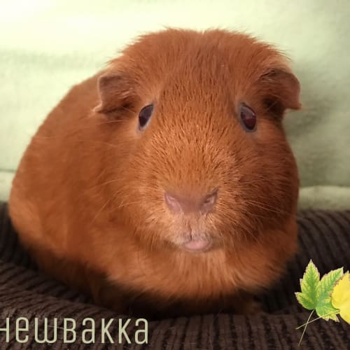 Chewbakka - Satin x Smooth Hair Guinea Pig
