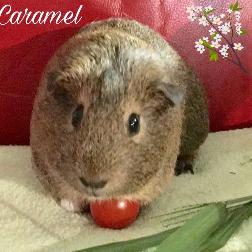 Caramel - Satin x Smooth Hair Guinea Pig
