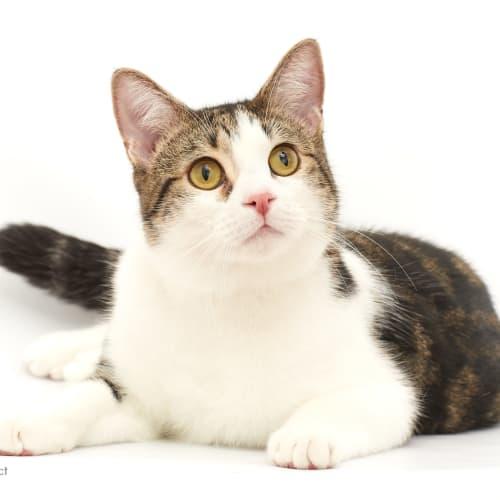Hopper  - Domestic Short Hair Cat