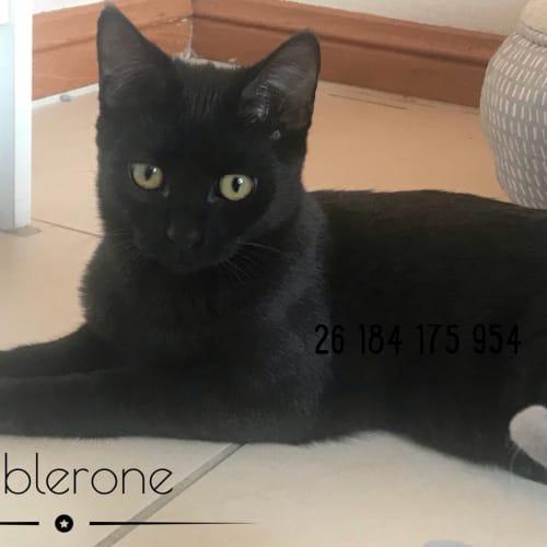 Toblerone  - Domestic Short Hair Cat