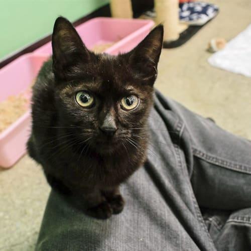 Izzy - Domestic Short Hair Cat