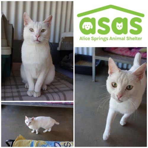 Elsa  CT18-128 - Domestic Short Hair Cat