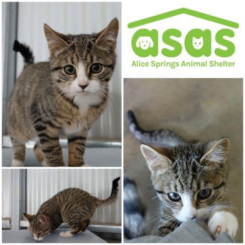 Hally  CT18-146 - Domestic Short Hair Cat