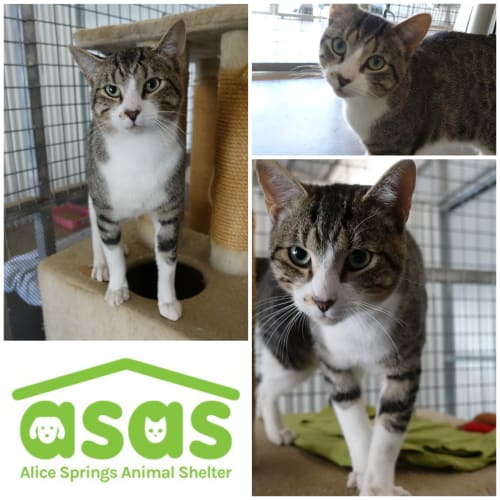 Wilson  CT18-133 - Domestic Short Hair Cat