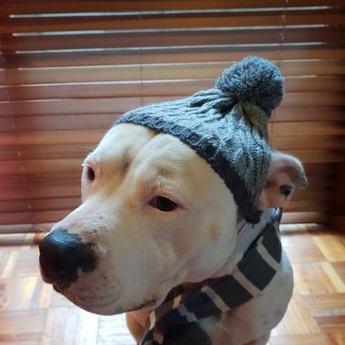 Kevin or Big Kev - American Staffordshire Bull Terrier Dog