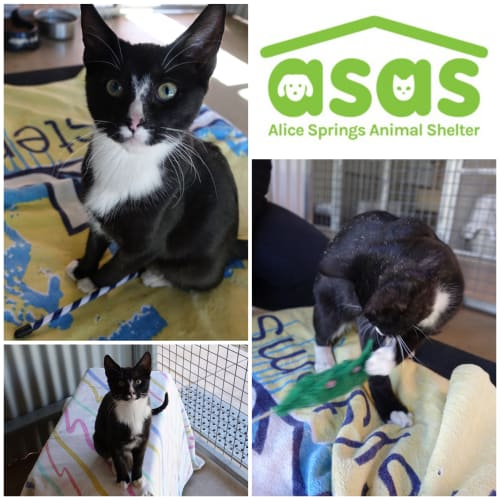 Fraser  CT18-151 - Domestic Short Hair Cat