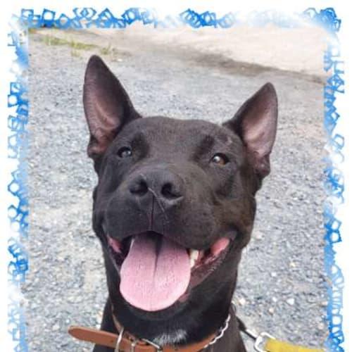 Bronx - Staffordshire Bull Terrier Dog