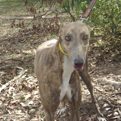 Anna - Greyhound Dog