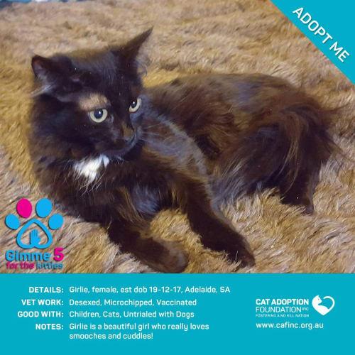 Girlie - Domestic Long Hair Cat