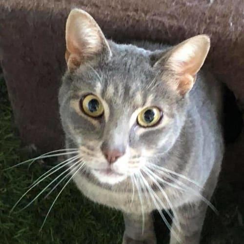 Poody Cat - Domestic Short Hair Cat