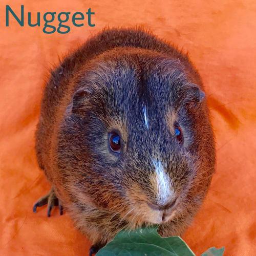 Nugget - Satin x Smooth Hair Guinea Pig