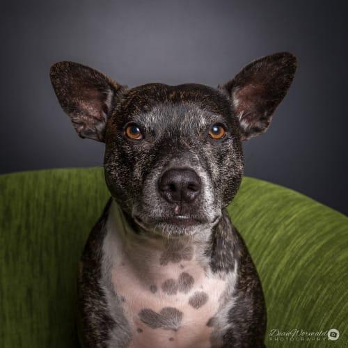 Bean ~ 4 year old Staffy X - Staffy Dog