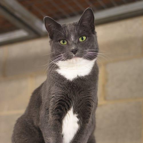 Penny (77550) - Domestic Short Hair Cat