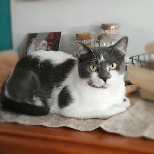 Miss Bella - Domestic Short Hair Cat