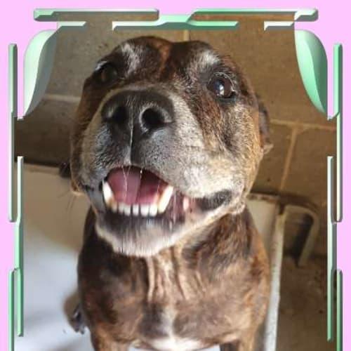 Nayla - Staffordshire Bull Terrier Dog