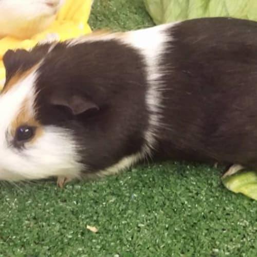 Louis -  Guinea Pig