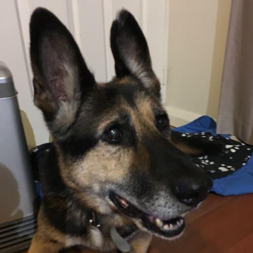 Sisko  - German Shepherd Dog