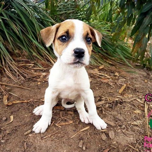 Cricket - Mastiff Dog