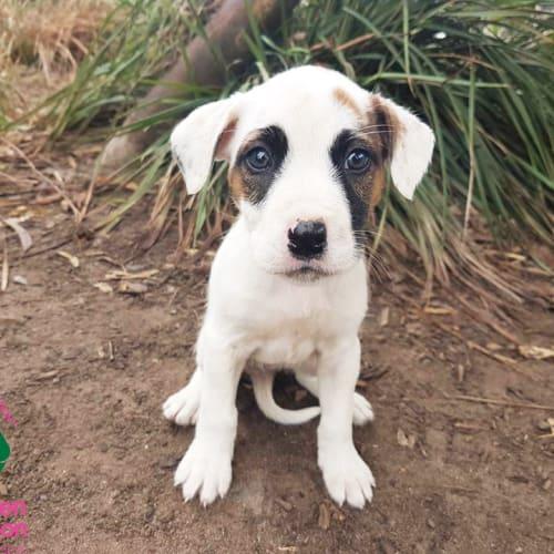 Roo - Mastiff Dog