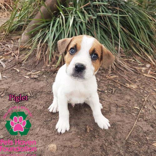 Piglet - Mastiff Dog