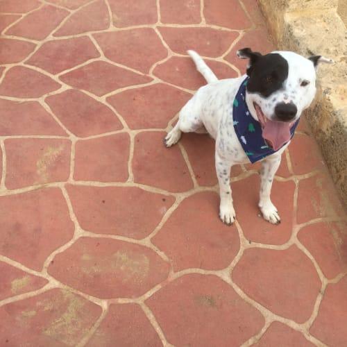 Bane - Blue Heeler Dog