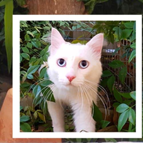 Villa and Nilla - Turkish Van Cat