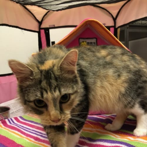 Fleur - Foster or Permanent home - Domestic Short Hair Cat
