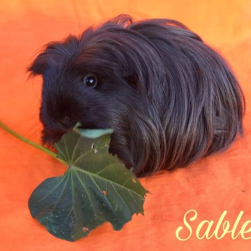 Sable - Sheltie Guinea Pig