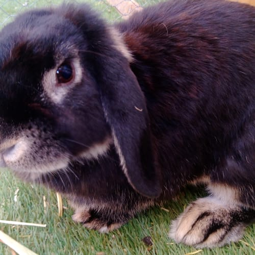 Beatrix - Lop Eared Rabbit