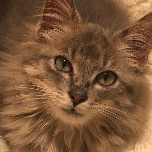 Buddy - Domestic Medium Hair Cat