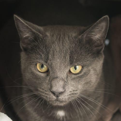 Raji - Domestic Short Hair Cat