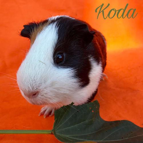 Koda - Smooth Hair Guinea Pig