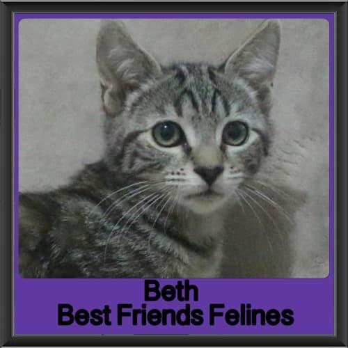 Beth  - Domestic Short Hair Cat