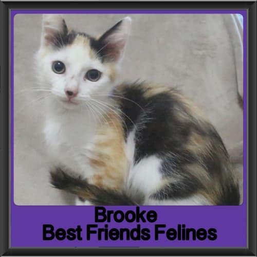Brooke - Domestic Short Hair Cat