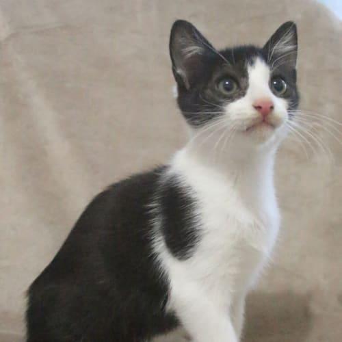 Tony  - Domestic Short Hair Cat