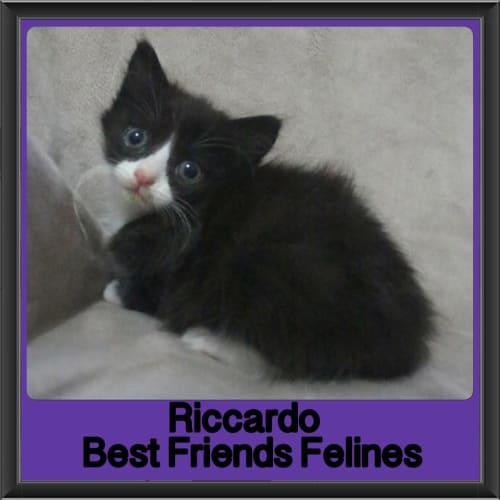 Riccardo  - Domestic Medium Hair Cat