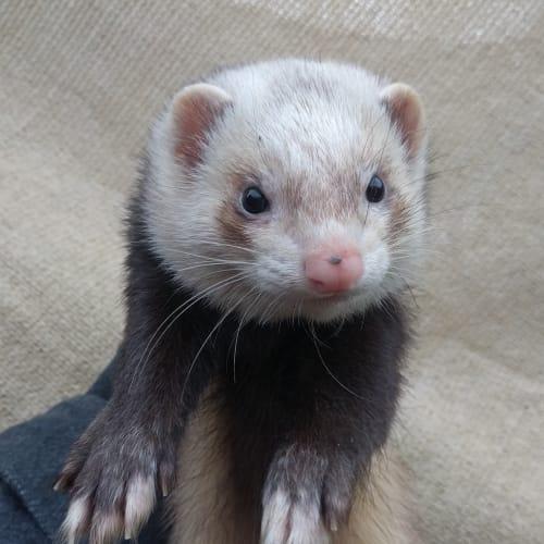 Sid  -  Ferret