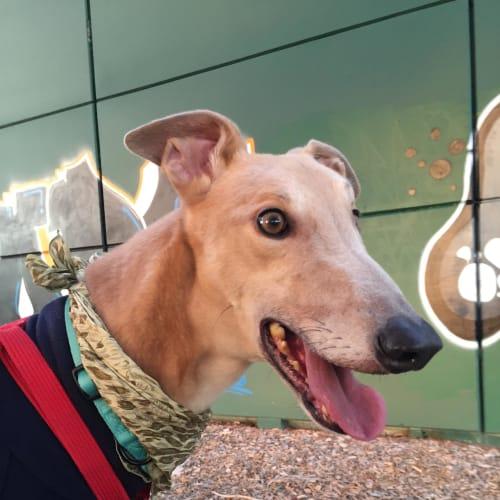 Mr Cool - Greyhound Dog