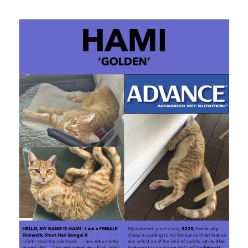 Hami (Golden) - Domestic Short Hair Cat