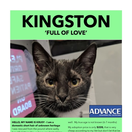 Kingston - Domestic Short Hair Cat