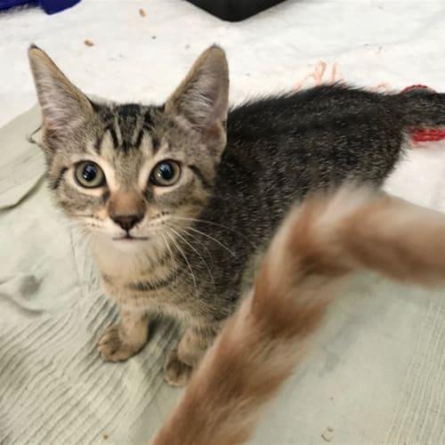 Sunshine - Domestic Short Hair Cat