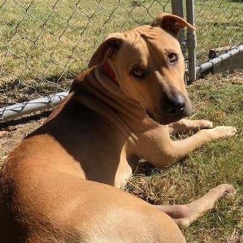 Bailey - American Staffordshire Bull Terrier Dog