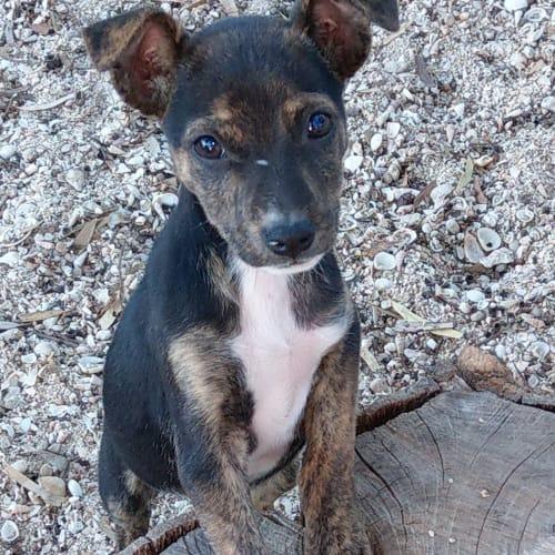 Rumor  - Cross Breed Dog