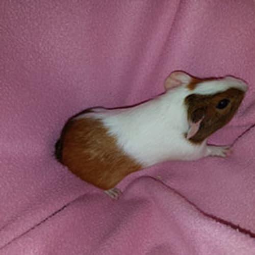 Tammi - Guinea Pig