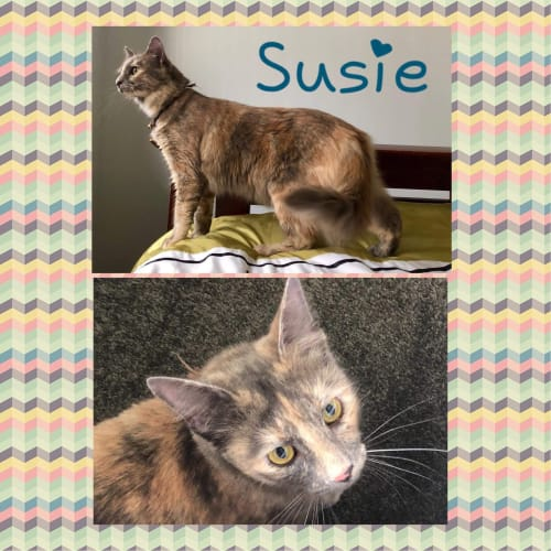 Susie - Domestic Medium Hair Cat