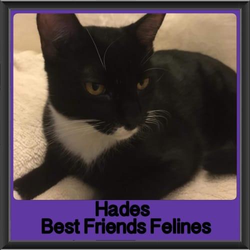 Hades - Domestic Short Hair Cat
