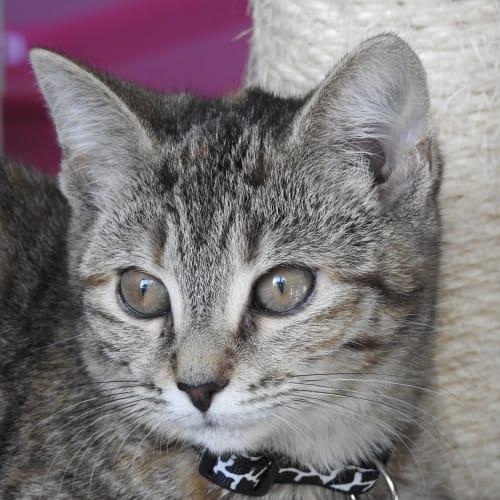 Flicka - Domestic Short Hair Cat