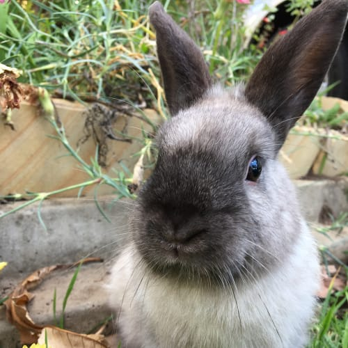 Jess  - Dwarf Rabbit