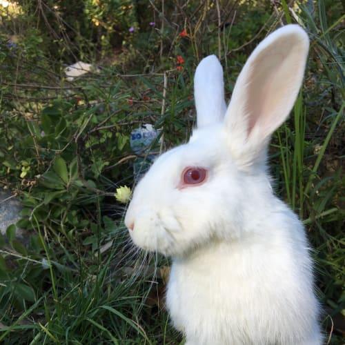 Strawberry  - Dwarf Rabbit